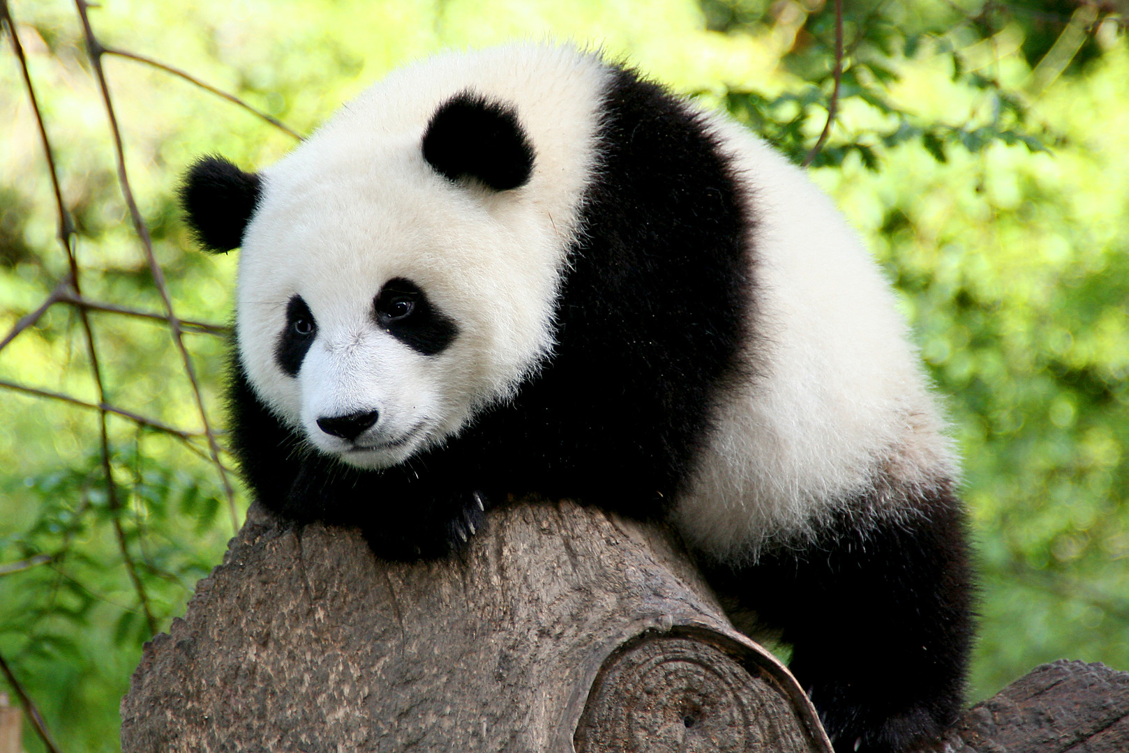 Picture from seoposicion. The giant panda lives in a few mountain ranges in central China, mainly in Sichuan province, but also in neighbouring provinces, namely Shaanxi and Gansu. As a result of farming, deforestation, and other development, the giant panda has been driven out of the lowland areas where it once lived.  The giant panda is a conservation reliant endangered species. A 2007 report shows 239 pandas living in captivity inside China and another 27 outside the country. As of December 2014, 49 giant pandas live in captivity outside China, living in 18 zoos in 13 different countries.