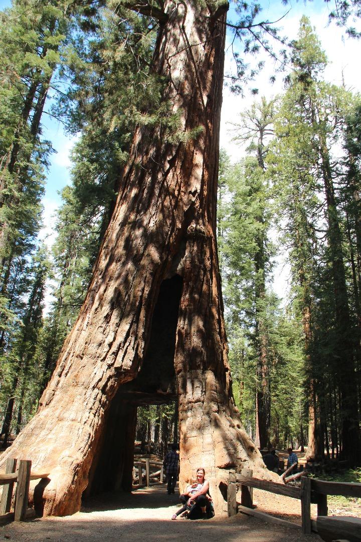 Mariposa Grove在南门口的右边2 英里。 园内有古巨红杉200棵。