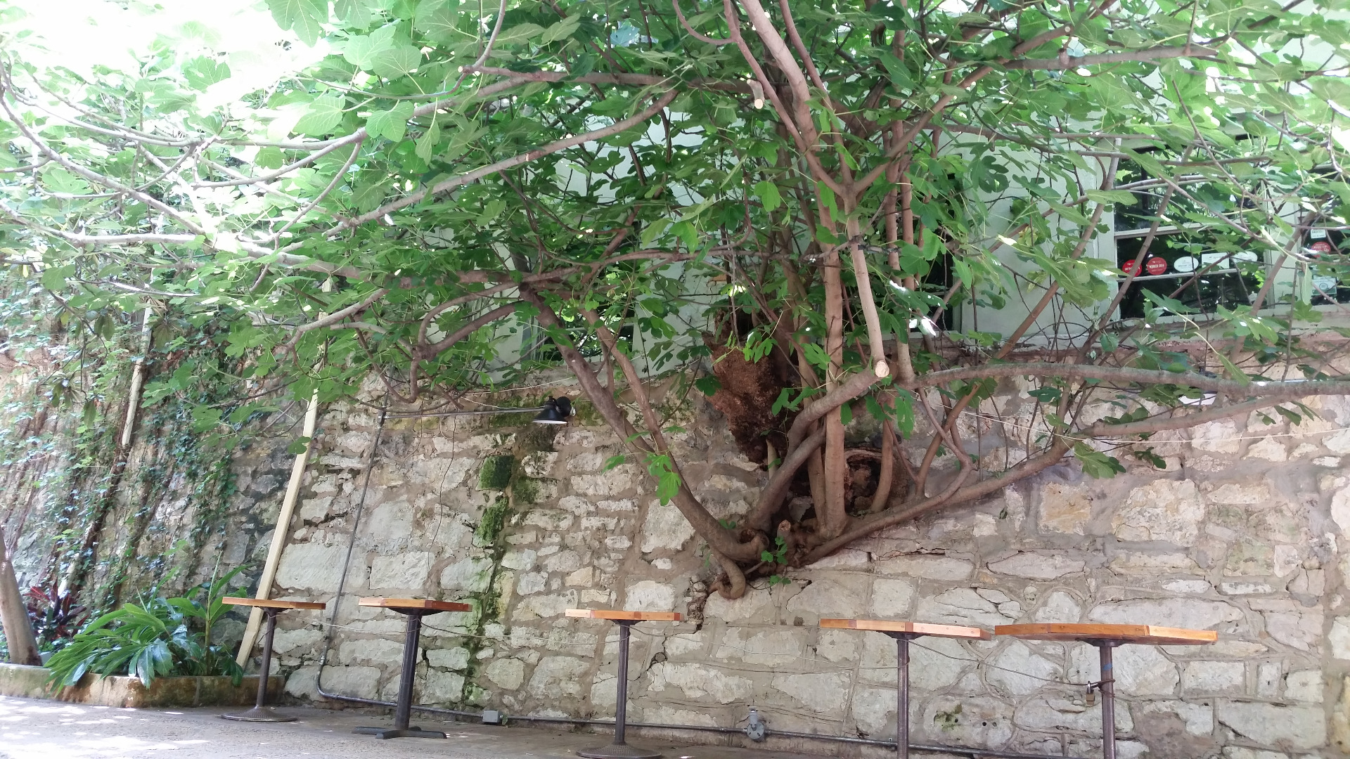 Very special tree that has penetrated the wall and kept growing.