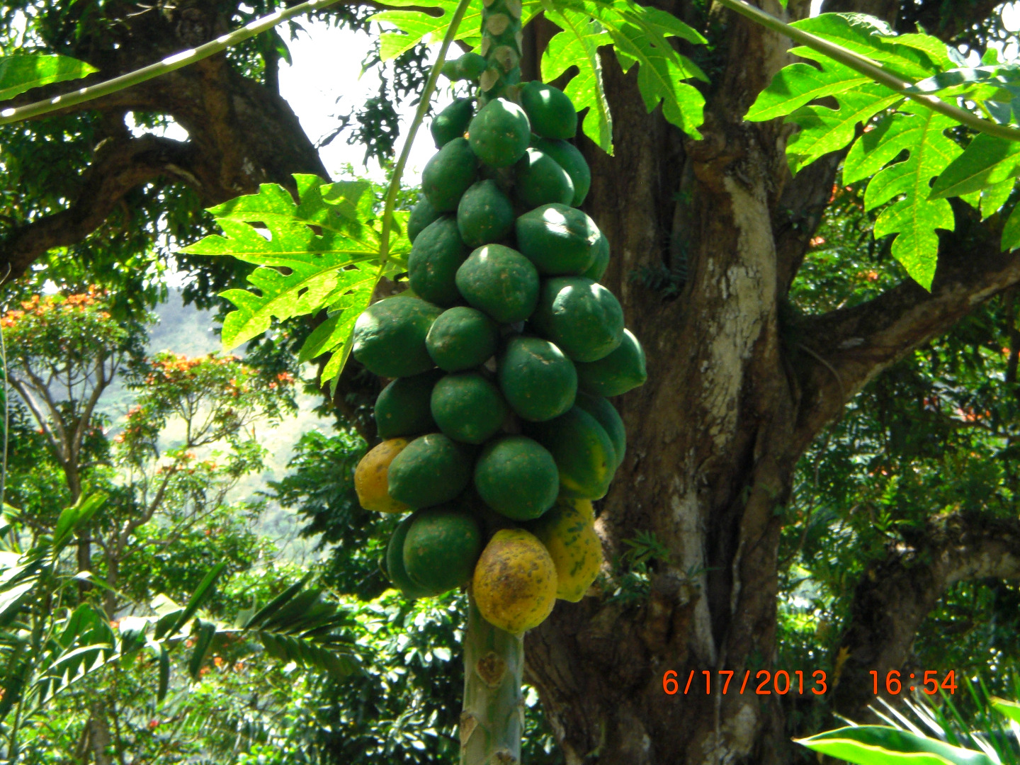 I have bought papayas from the local farmers and also bought some from the walmart in Kona. All of them are tasted very good. Everybody in our family loved them.